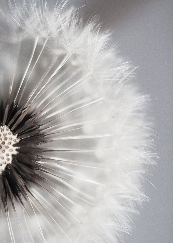 a beautiful dandelion that has gone to seed