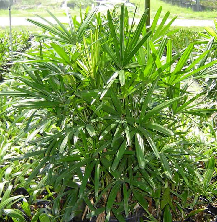 lady palms Lady or Raphis Palm this clumping plant can