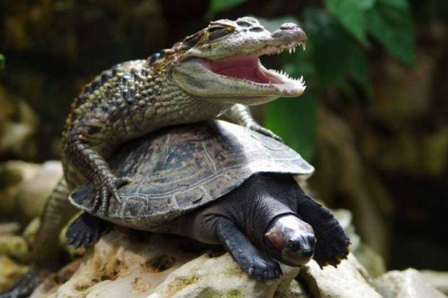 Mezcla de cocodrilo y tortuga.