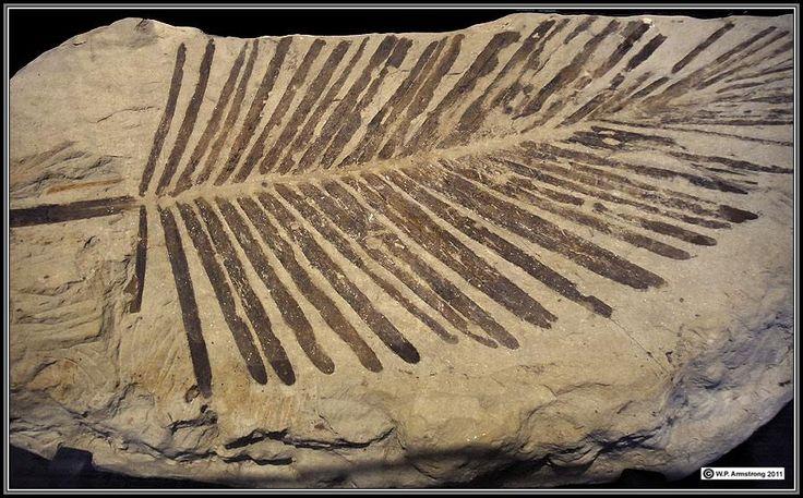 fossil impression of cycad leaf found in 75 million year old deposit in california