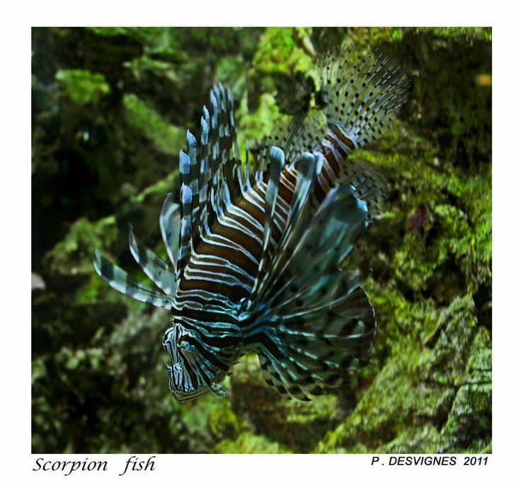 17 best images about auquatic loves on pinterest for African butterfly fish