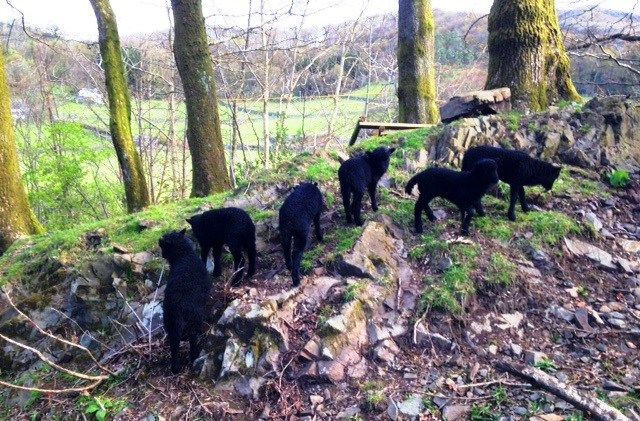 Hebridean lambs playing in the woods at Malt Kiln Broughton Mills, Lake District, Cumbria