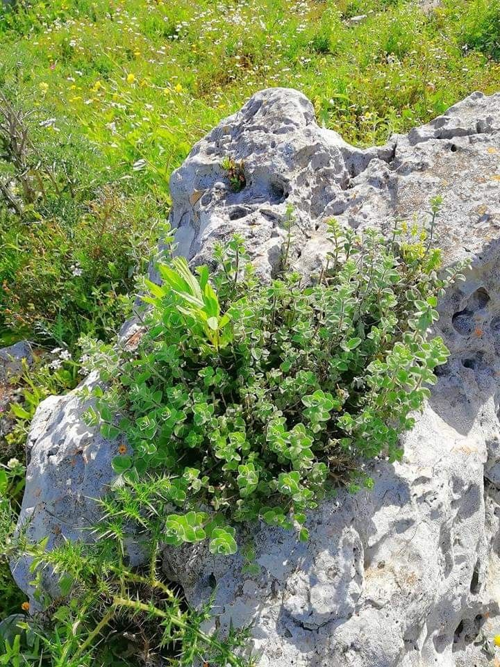 زعتر بري Plants Outdoor Outdoor Decor