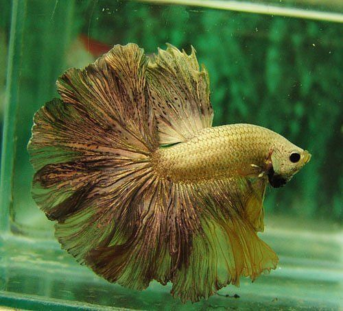 Yellow Platinum Feather tail-fact #11: the bettas really name is siemese fighting fish.