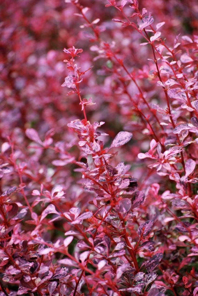 Thunberg-Berberitze 'Pink Queen' • Berberis thunbergii 'Pink Queen' • Hecken-Berberitze 'Pink Queen' • Thunbergs Berberitze 'Pink Queen' • Pflanzen & Blumen • 99Roots.com