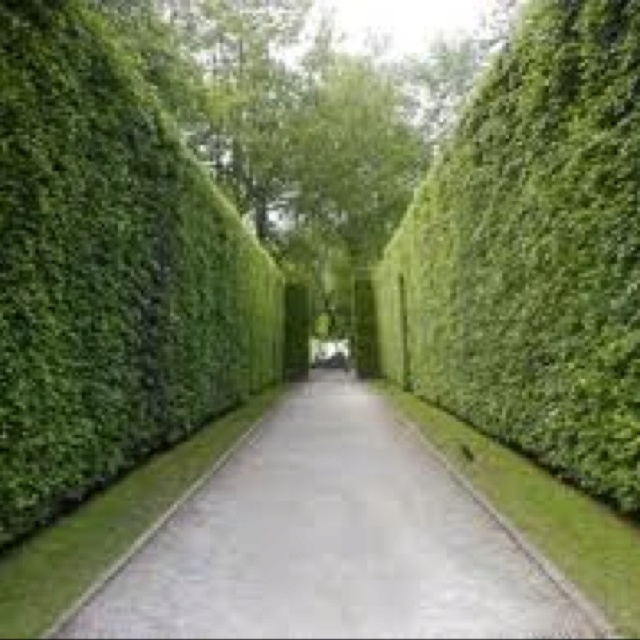 Evergreen Privacy Hedgesfront And Side Yard Garden Hedges Hedges Laurel Hedge