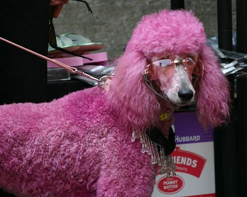 Blue Dyed Standard Poodle 10 Best images about M...
