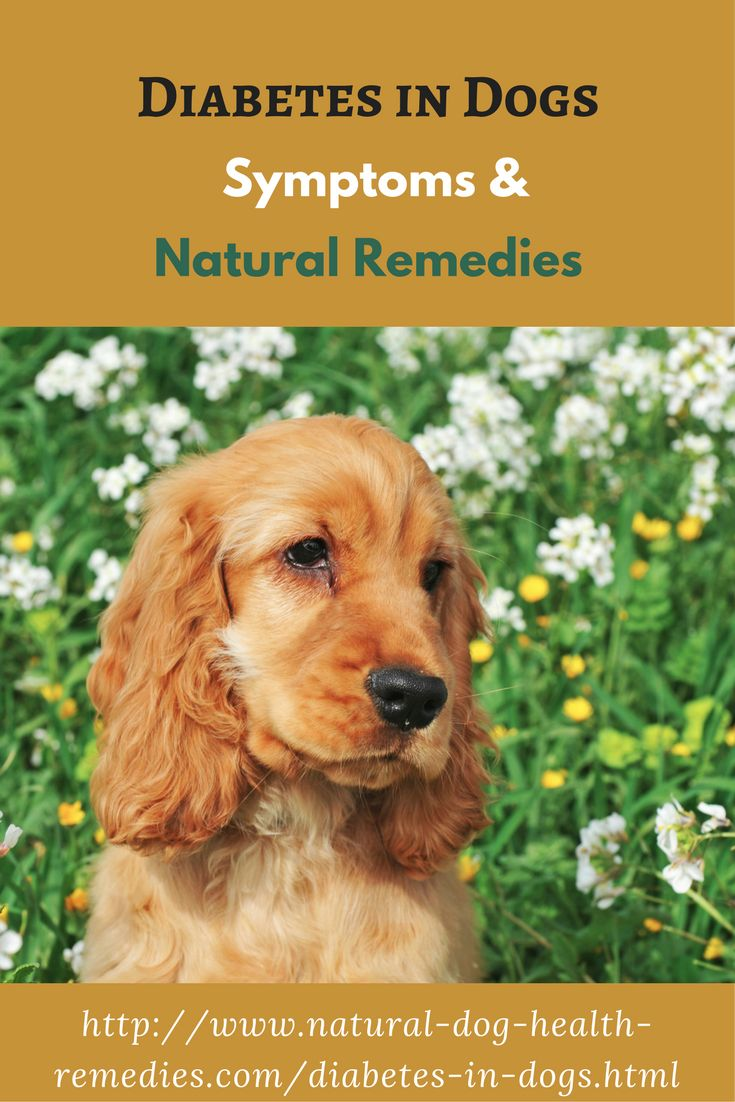 Learn the 4 classic symptoms of canine diabetes and how to use natural remedies to help dogs with diabetes.
