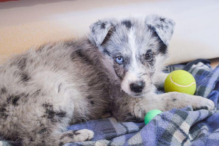 #pastore #australiano #mix #puppy #cucciolo #eterocromia #bluemerle #australian #sheperd #koolie #kelpie