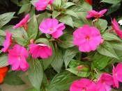 İmpatiens Cam güzeli Yeni Gİne 20-30cm http://www.fidanistanbul.com/urun/900_impatiens-cam-guzeli-yeni-gine-20-30cm.html sipariş için 0226 814 00 41 Fidan Satışı, Fide Satışı, internetten Fidan Siparişi, Bodur Aşılı Sertifikalı Meyve Fidanı Süs Bitkileri,Ağaç,Bitki,Çiçek,Çalı,Fide