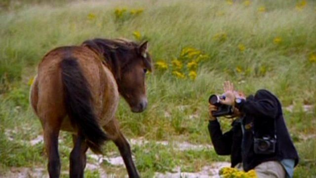 Chasing Wild Horses - Clip 2 of 4 by Roberto Dutesco. This feature length documentary tells the story of photographer Roberto Dutesco and his passion for the incredible wild horses of Sable Island.