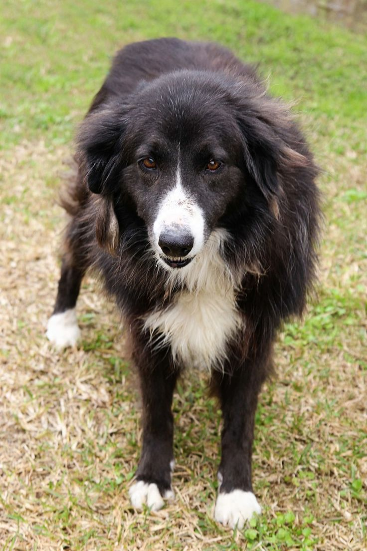 Adopt Mason on Beautiful dogs, Border collie, Collie