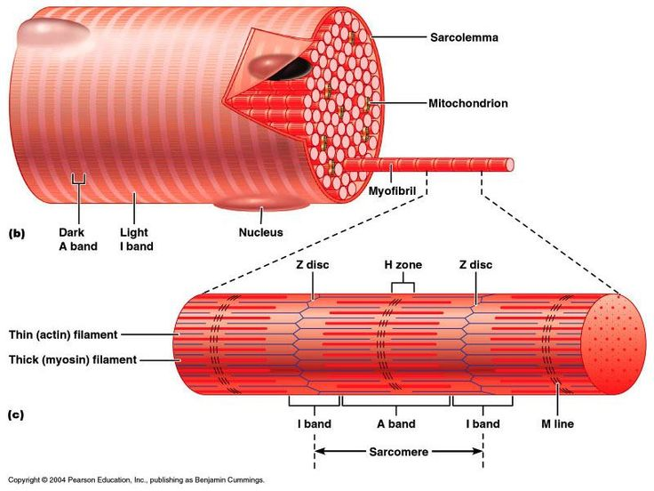 Anatomy of a sarcomere