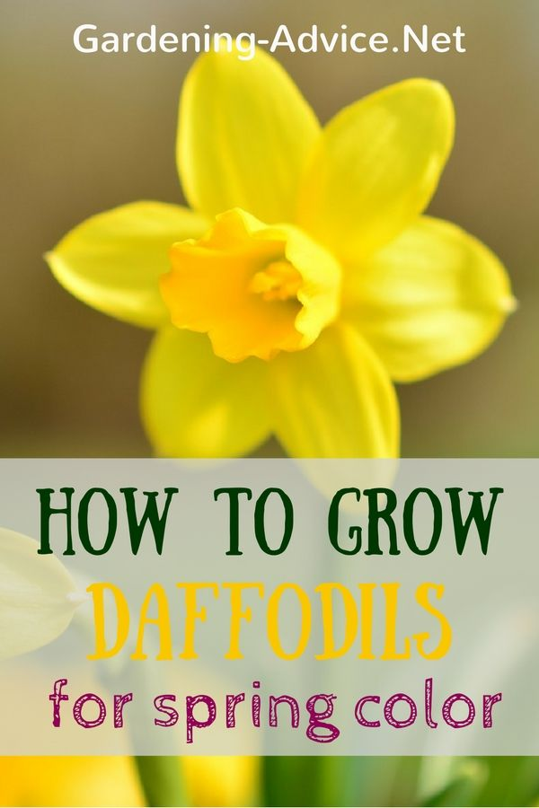 When Daffodils And Narcissi Flower You Know That Spring Has Arrived! How to grow…