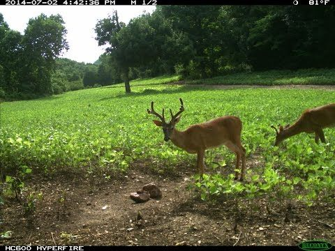 Food Plots For Deer: How To Have The Best Food In the ...