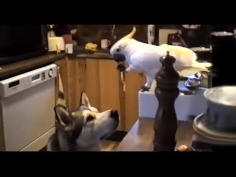 Best Of Funny | Parrots Annoying Dogs Compilation || NEW HD! -  #dog #dogs #funnydogs #puppy #doglover #animals #animal #pet #cute #pets #animales #tagsforlikes Best Of Funny Parrots Annoying Dogs Compilation || NEW HD! A parrot can be very annoying. Check out these funny parrots annoying these funny dogs in this funny parrot and dog videos compilation.  - #Dogs