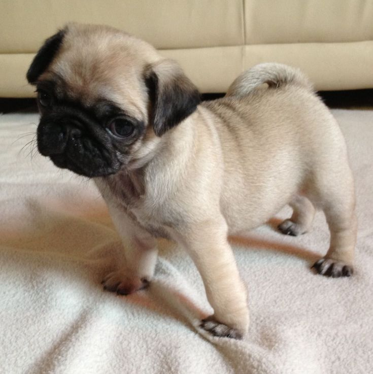 Pug Puppies Pug Puppies 950 Posted 7 Months Ago For Sale