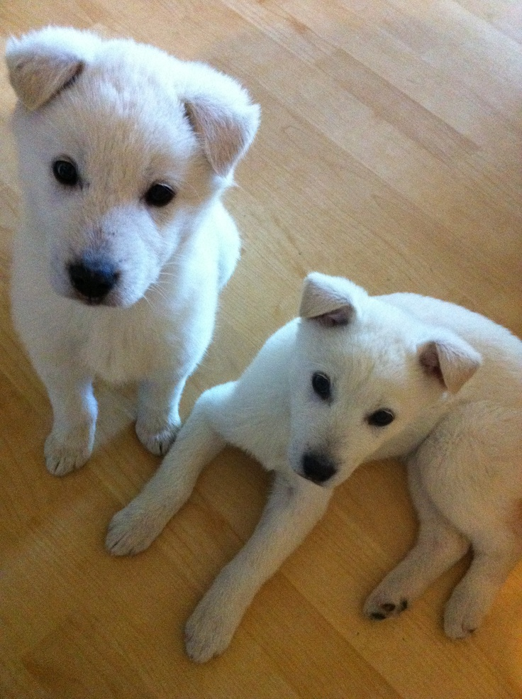 Korean Jindo puppies | Dogs! | Dogs, Crazy dog, Animals