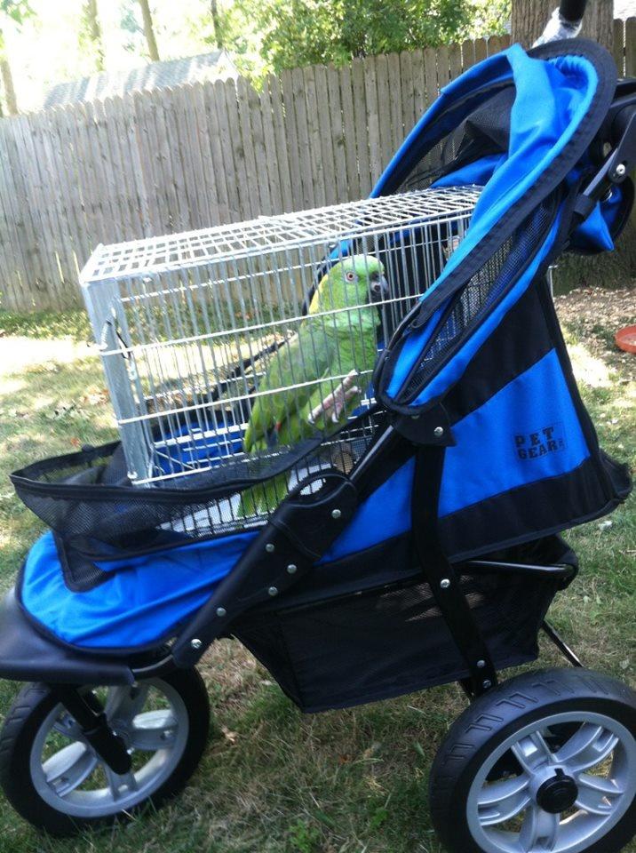 Amazon parrot in doggie stroller | Amazon Parrots | Amazon ...