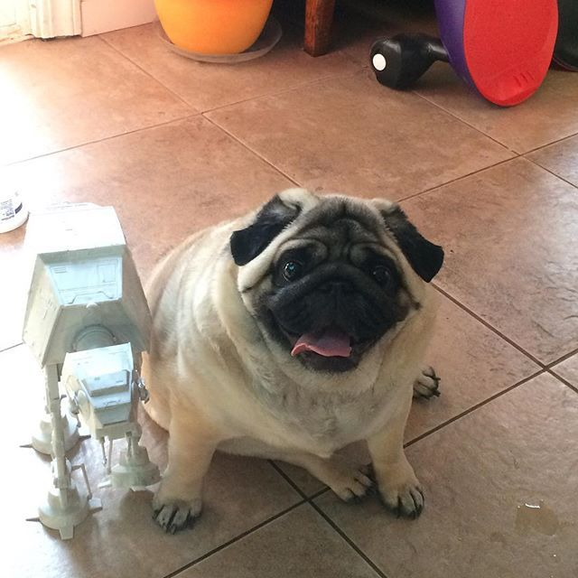 Cute But Please Don T Let Your Pug Get This Unhealthy Aw Poor