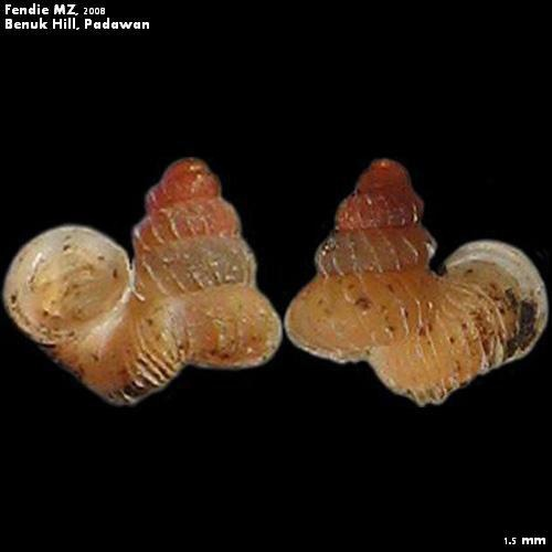 Opisthostoma wallacei busauense (E.A. Smith, 1893)  Very minute species. Endemic to Padawan  Bornean Snail