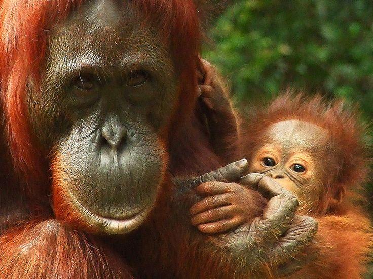 Beliebt bebe orang outan | Les bébés d'animaux | Pinterest | Bébé orang  FE63