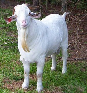 Kiko Meat Goats