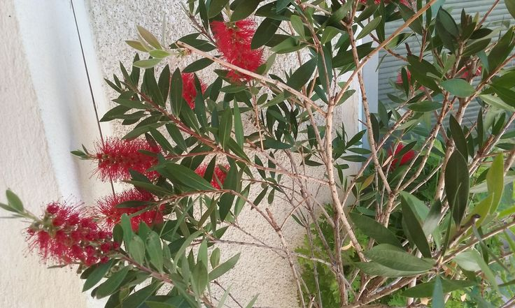 Calistemon  or bottle brush stay outside and blooms in summer, in June 2015