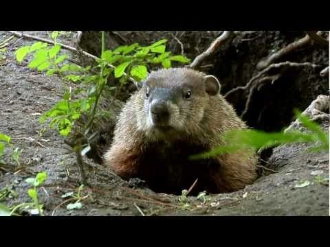 Video clip of groundhog in nature