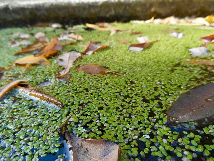 Přečtěte si reportáž o malé zelené rostlince, která plave na hladině skoro každého rybníku.