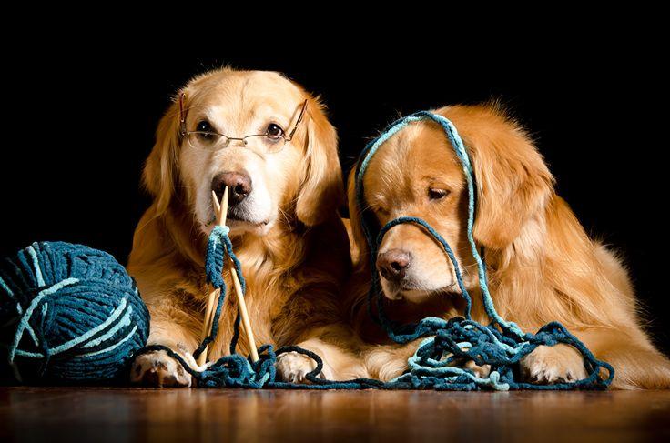 Fotos Retriever Golden Retriever Hunde Zwei Brille Tiere Schwarzer Hintergrund 2