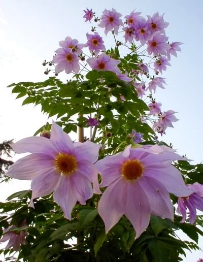 Tree dahlia- I want one in my front yard! they grow 20+ feet tall in a season!