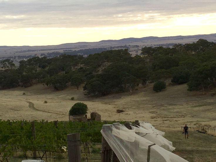 "Grosset Wines on Twitter: ""#Grosset isolated #Gaia #vineyard at sunrise. Birdnets to keep roos out! #v16 #organic #vintageaus https://t.co/sv4KQEr6bz"""