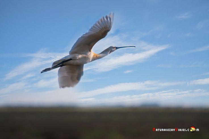 Dónde ver aves en el Algarve, Portugal - via Naturaleza y Viajes 16-01-2017 | El birdwatching, del que os hablé en este artículo que publicamos hace un par de meses, se basa en la observación y el estudio de las aves silvestres. Casi 300 especies de este grupo de vertebrados (entre rapaces, marinas, limícolas, anátidas, paseriformes y otras) se dan cita en este territorio repartidas a lo largo de todo el año. Foto: Espátula