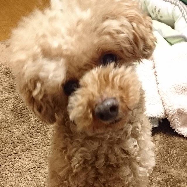 ちゃんと聞いてますよ。 #トイプードル #トイプー #犬好き #犬 #ふわもこ部 #わんこ #愛犬 #レッド #ふわふわ #ペット #toypoodle #dog #poodle #pet #instadog #dogstagram #instapoodle  #푸들 #토이 푸들 #개