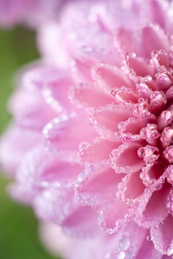 Pink small chrysanthemum by Hidemi Katayama
