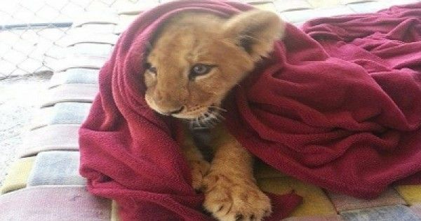 This Rescued Baby Lion Can't Sleep Without His Blanket
