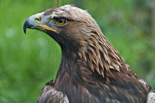 Steenarend / Golden eagle | Flickr - Photo Sharing!
