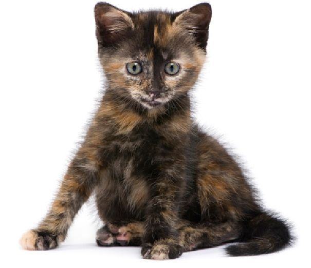 Tortoise Shell Kittens | Whatis a Tortoiseshell Cat?