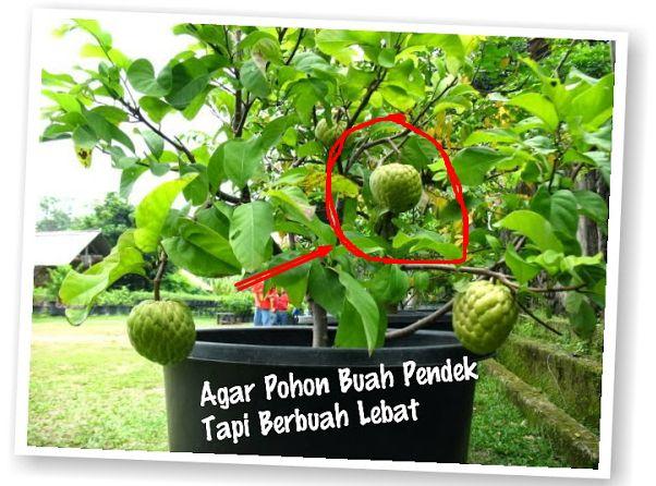 Ini dia Tips Sederhana agar Pohon buah pendek lebat buahnya! PERLU TAU buat kamu yang Suka Menanam!