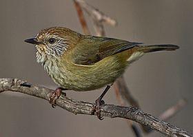 Striated Thornbill | BirdLife Australia