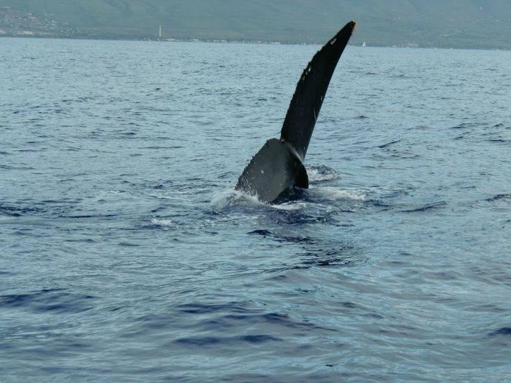Grey whale tail