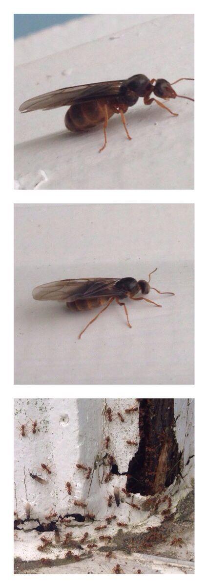 Reine fourmi, préparatifs de la soirée nuptiale? Cadre de la porte d'entrée du 221 Jacques-Cartier, 4 août 2014
