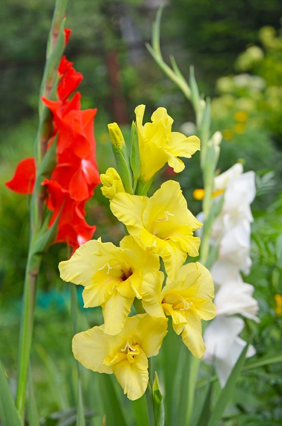 The Different Types Of Gladiolus Plants In 2020 Gladiolus Flower Outdoor Flowers Beautiful Flowers