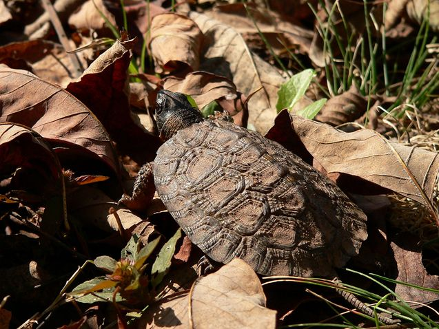 The North American Wood Turtle is a popular turtle breed, thanks to its friendliness, its endearing personality, and the fact that it is tame and easy to handle.
