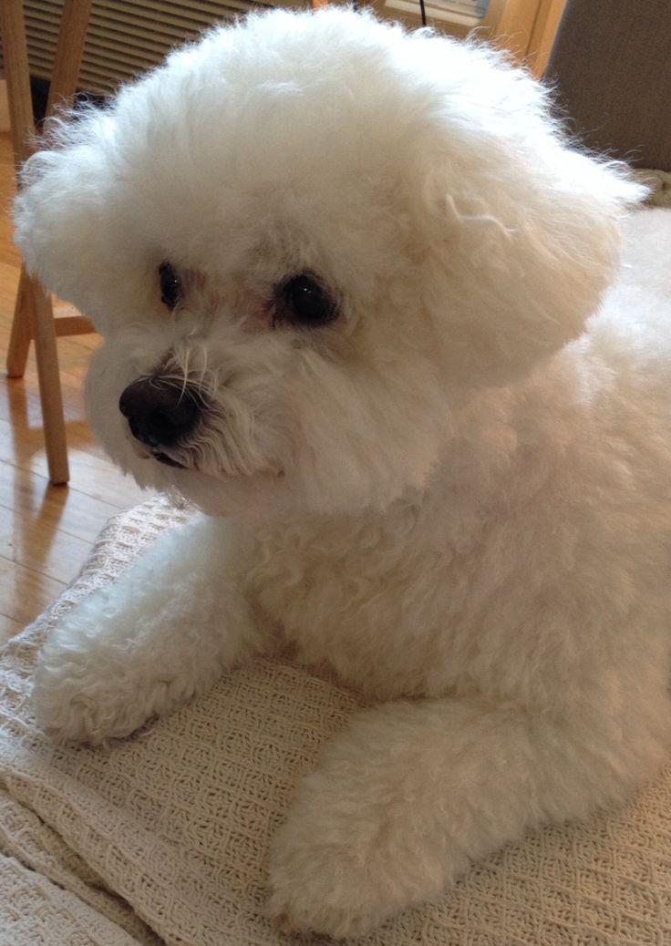 Bailey!!!! (Bichon Frise)