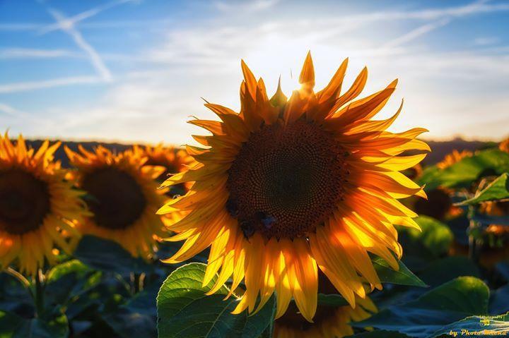 Sonnenblume Guten Morgen Heute Ist Es Etwas Verregnet Da