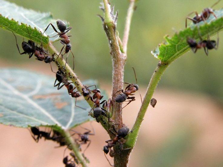 Одним ударом тлю и муравьёв | Деревенские заметки | Яндекс Дзен