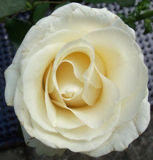 Keith Loreth Cosmic Art: White Rose