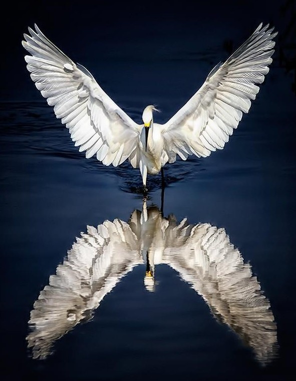 An egret in an almost mythical Icarus posture...